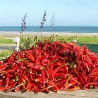 kaitaia fire hot sauce chilis5