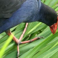 pukeko bird conservation manuka honey3